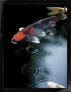 Naturplakat af karpe fisk kunstplakat dansk foto kunst