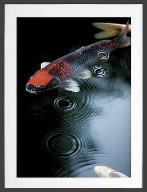 Karpe fisk dansk foto plakat og poster