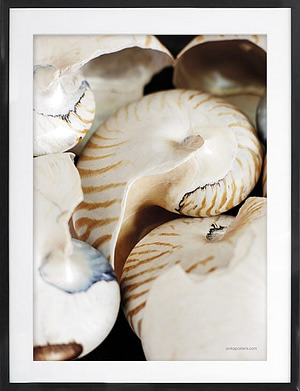 naturplakat af Konkylie 50x70 cm